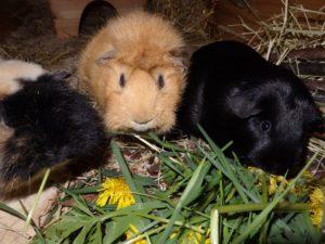 drei meerschweinchen